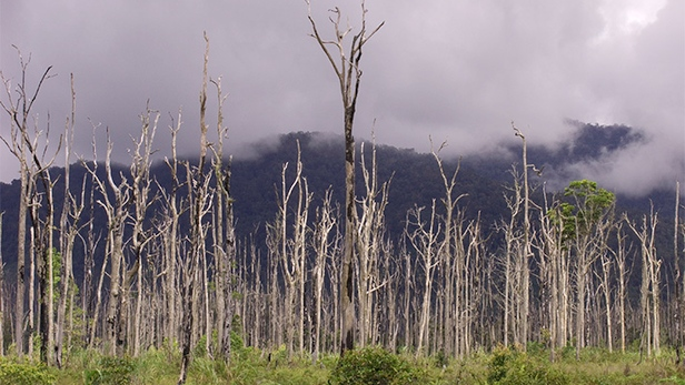 Dead trees from 1998 El Nino in PNG - Michael DUncalfe