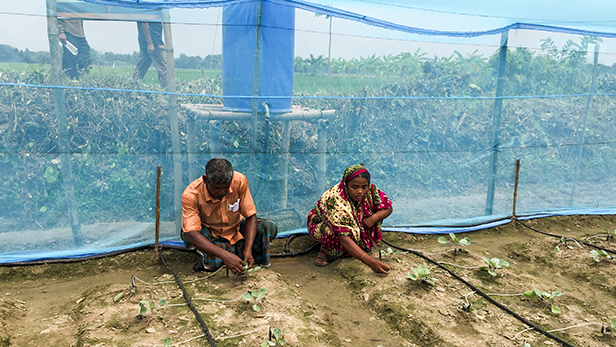 Credit: Ishrat Jahan (IFDC). Fahima and her husband work in her polynet house with trickle/drip irrigation demo plot