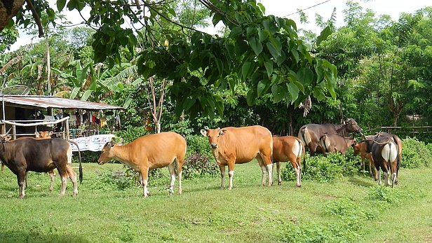 Bali cattle at Muapitine village, eastern TImor-Leste