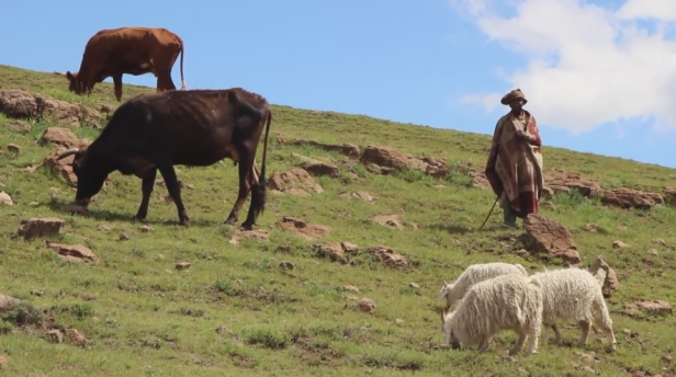 Basotho Shepherd with his animals